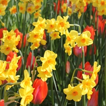 Narcissus Martinette Bulbs