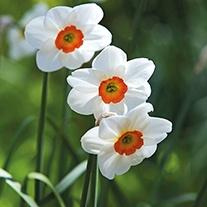 Narcissus Geranium (Tazetta) Bulbs