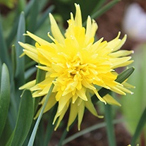 Narcissus Rip van Winkle (Tazetta) Bulbs