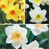 Narcissi Large Cupped Collection
