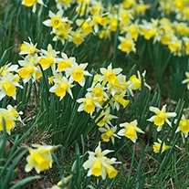 Narcissus pseudonarcissus Bulbs