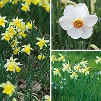 Narcissi Naturalising Bulb Collection