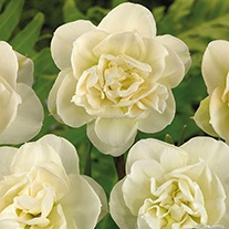 Narcissus Rose of May (Double) Bulbs