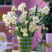 Narcissus Bridal Crown (Double) Bulbs