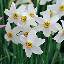 Narcissi Pheasent's Eye poeticus var. recurvus (Species) Bulbs
