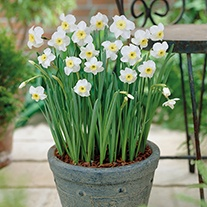 Narcissus Segovia (Jonquilla) Bulbs