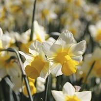 Narcissus Golden Echo Bulbs