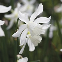 Narcissus Thalia Bulbs