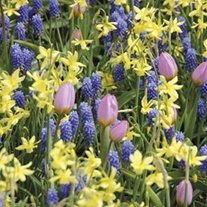 Narcissus, Muscari & Tulip Bulb Collection