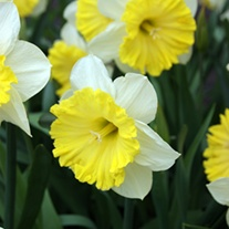 Narcissus Dinnerplate (Large-cup) Bulbs