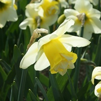 Narcissus Popeye (Double) Bulbs