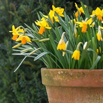 Narcissus Jetfire (Cyclamineus) Bulbs