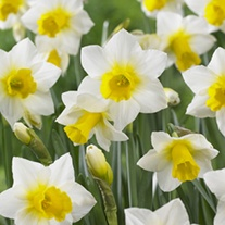 Narcissus Golden Echo (Jonquilla) Bulbs