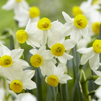 Narcissus canaliculatus (Tazetta) Bulbs