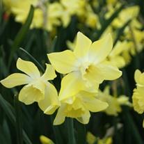 Narcissus Pipit (Jonquilla) Flower Bulbs