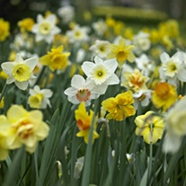 Narcissus Mixed Colours Bulb Collection