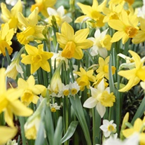 Narcissus Species Mixed Colours Bulb Collection