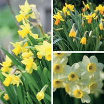Narcissi for Containers Bulb Collection