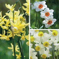 Narcissi Fragrant Bulb Collection