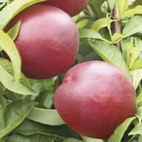 Nectarine Fantasia fruit tree