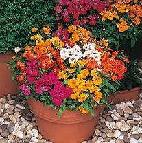 Nemesia Sundrops Plants