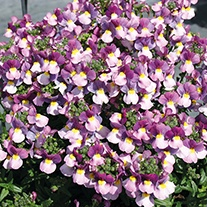 Nemesia Karoo Violet Ice Plants