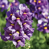 Nemesia Karoo Dark Blue Plants