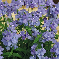 Nemesia Karoo Soft Blue Plants