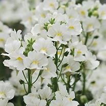 Nemesia Karoo Flower Plant Collection