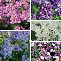 Nemesia Karoo Plant Collection