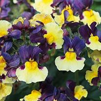 Nemesia Aroma Plums and Custard Plants
