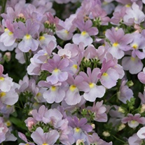 Nemesia Amelie plants