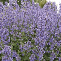 Nepeta Summer Magic Plants