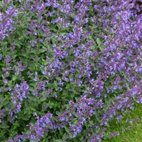 Nepeta Kit Kat Flower Plants