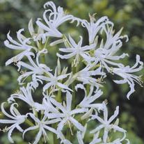 Nerine bowdenii Alba