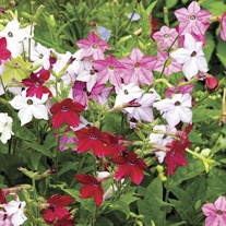 Nicotiana Perfume Mixed F1 Flower Plants