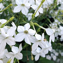 Nicotiana Grandiflora Plants
