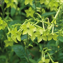 Nicotiana Lime Green Plants
