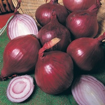 Onion Red Baron (Spring Planting) Plants