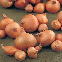 Onion (Heat Treated) Hytech (Spring Planting)