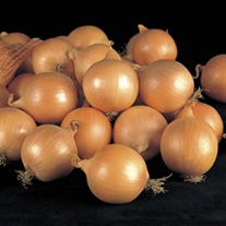 Fasto F1 Onion Plants