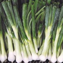 Onion (Salad) Winter Hardy Starlight Veg Plants