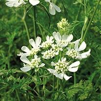 Orlaya grandiflora Flower Plants