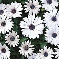 Osteospermum Serenity White Plants