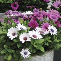 Osteospermum Akila Mixed Plants