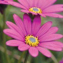Osteospermum In the Pink Plants