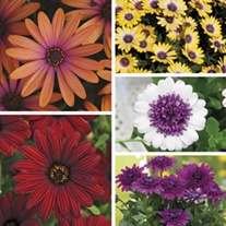 Osteospermum Plant Collection