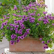 Osteospermum Serenity Dark Purple Flower Plants