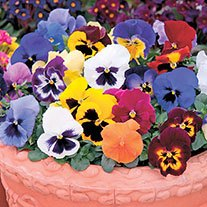 Pansy Matrix Mix F1 Plants