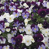Pansy Cool Wave Berries 'n' Cream Mixed F1 Plants & Hanging Baskets